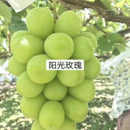 遼寧省葫蘆島市興城市陽光玫瑰葡萄苗 繁自育優質苗木,保存度質量和成活率95%以上,價格合理,