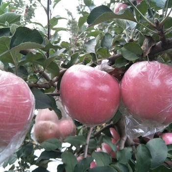 红富士苹果 个头大,果面好。要的抓紧了。