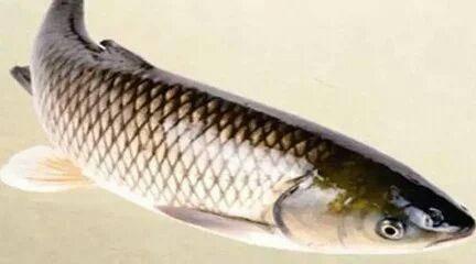 云南省昭通市昭陽區池塘草魚 要8-15斤大規格私聊