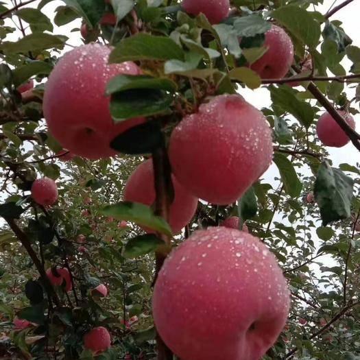 甘肅省平涼市靜寧縣紅富士蘋果 靜寧紅富士