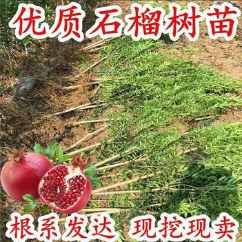 軟籽石榴苗突尼斯軟籽石榴樹苗石榴樹果樹南北方種植兩年嫁接苗