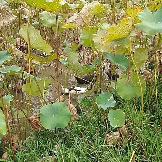 江西省撫州市宜黃縣 散養在蓮子田間的蛋鴨、胡鴨
