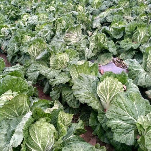 山東省青島市膠州市膠州大白菜 .使用農家肥,絕對無公害,長勢很好,口感鮮嫩,生物殺蟲殺菌。