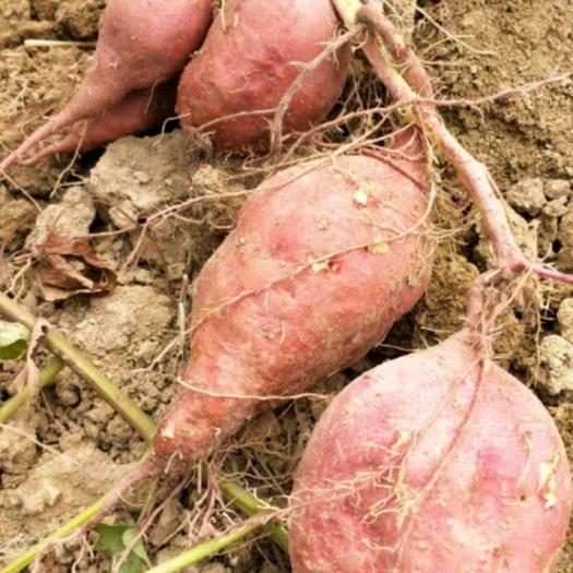四川省成都市簡陽市商薯19紅薯苗 19.出粉多