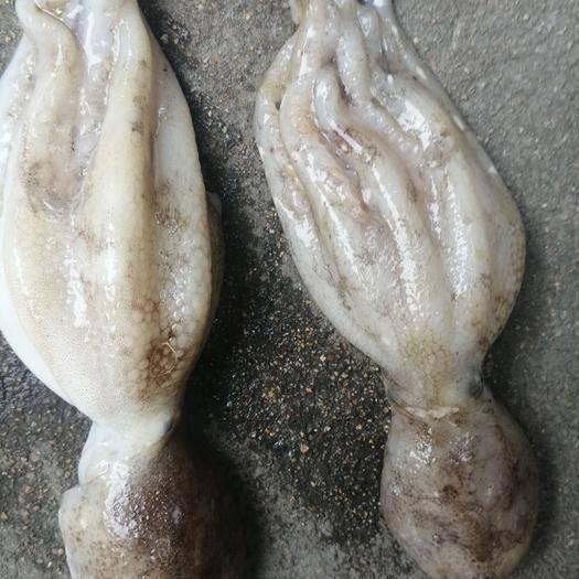 江蘇省連云港市贛榆區 鮮活的八爪魚