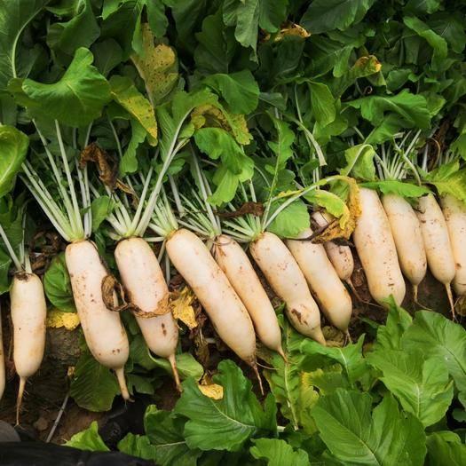 河南省安陽市內黃縣白蘿卜 混裝通貨