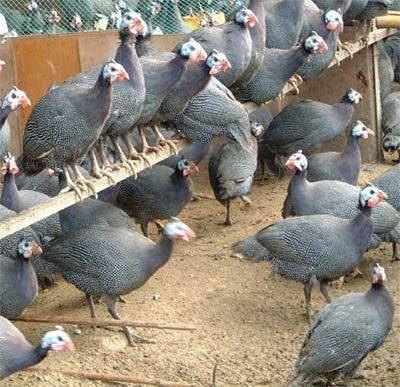 廣西壯族自治區南寧市武鳴區 珍珠雞苗,成活率高,包運輸,養殖戶供應出售