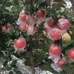 山西省運城市平陸縣紅富士蘋果 山西平陸高原紅富士膜袋,脆甜口,感好
