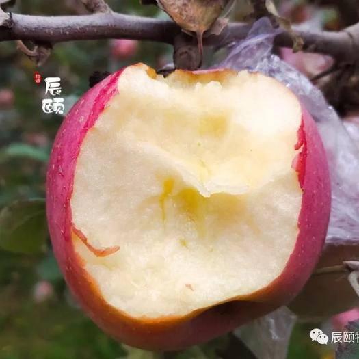 山西省運城市臨猗縣 紙加膜紅富士蘋果