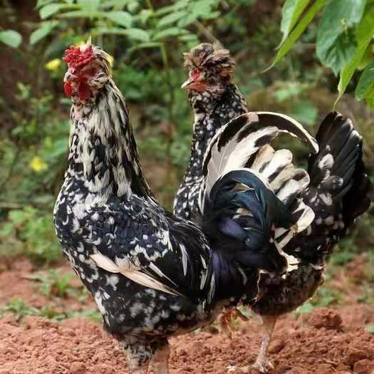江蘇省宿遷市沭陽縣 雞苗,脫溫的貴妃雞