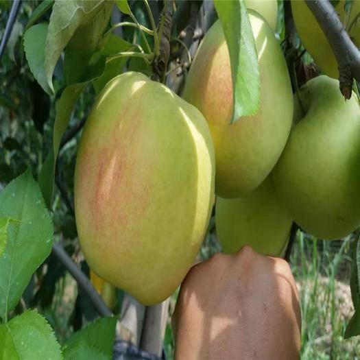 山東省泰安市岱岳區美八蘋果樹苗 嫁接蘋果苗  新品種美八嫁接蘋果苗  個大脆甜上市早效益高