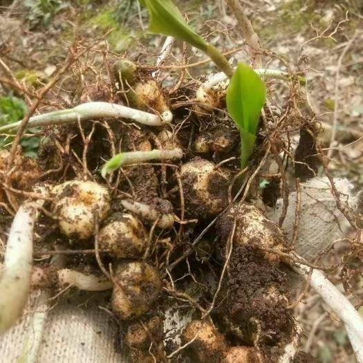 湖北省黃石市陽新縣黃精種子 黃精芽頭,種子(有芽就算,大小都有)