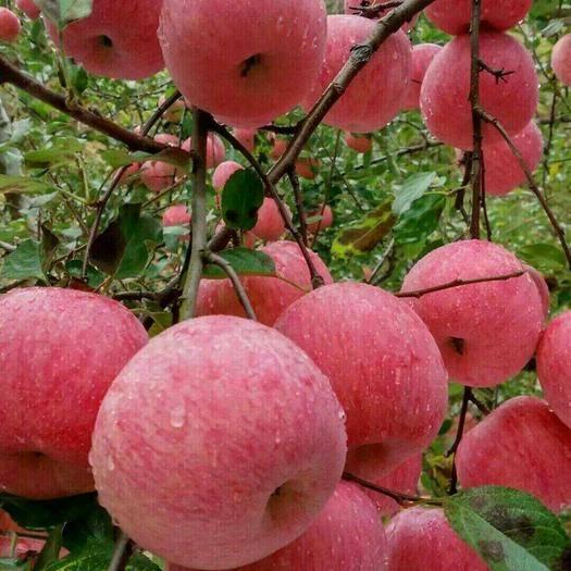 重慶市南川區 陜西洛川蘋果,正宗條紋紅