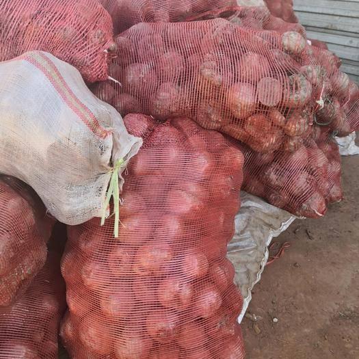 云南省麗江市古城區 魔芋種子出售