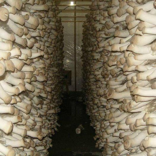 重慶市萬州區鮮杏鮑菇 廠家直銷,