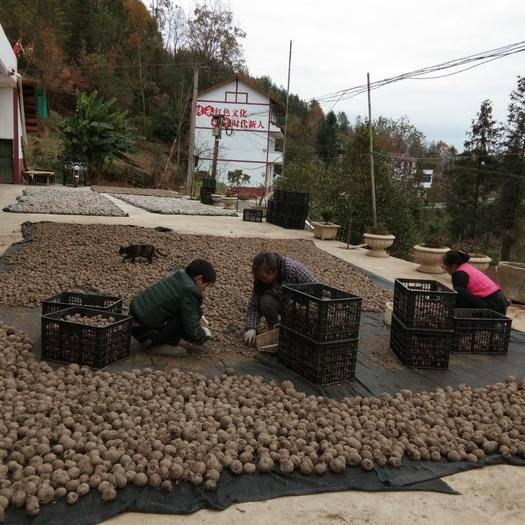 重慶市巫溪縣 大量優質魔芋種子!!!