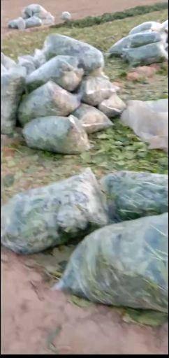 河北省邯鄲市大名縣 加工廠脫水用菠菜