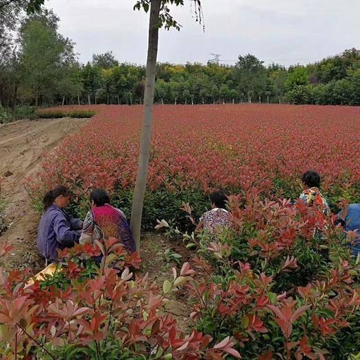 陜西省西安市周至縣火焰紅 營養杯石蘭。