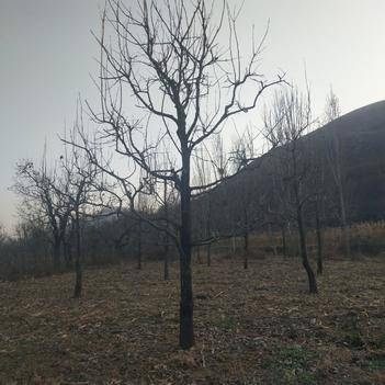 柿子树接穗 大量出售各种规格柿子树