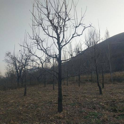 河北省保定市顺平县柿子树接穗 大量出售各种规格柿子树