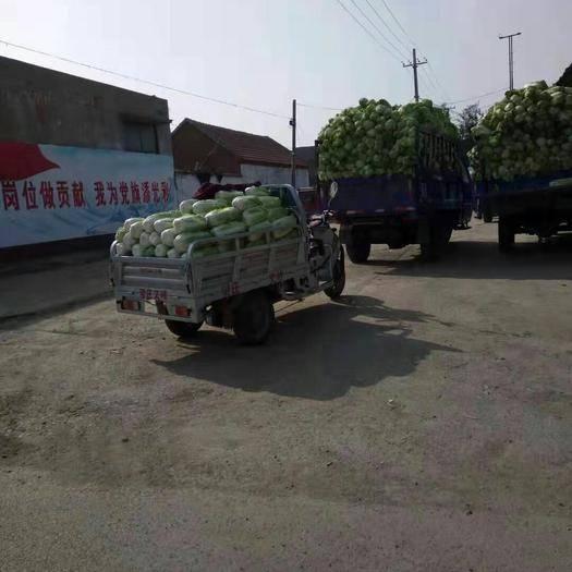 山東省棗莊市滕州市 大白菜又大又好,有需要的老板歡迎合作