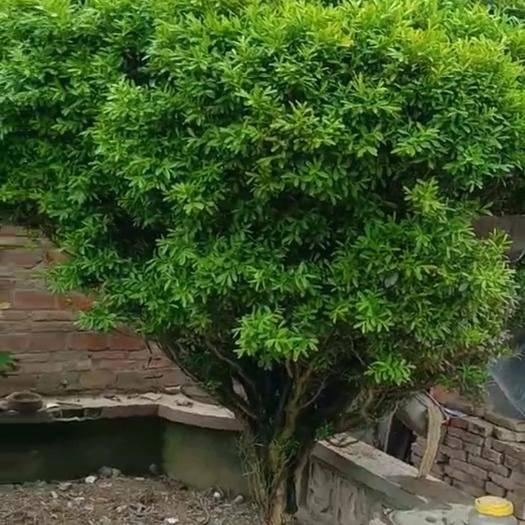 江苏省宿迁市沭阳县 雀舌黄杨球1.6米高低价处理