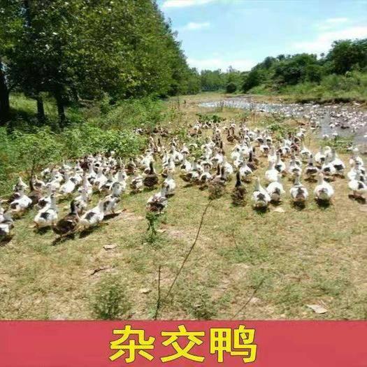 廣西壯族自治區南寧市西鄉塘區雜交鴨苗 雜交鴨