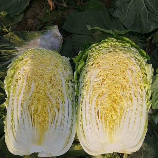 河南省南陽市新野縣黃心寶 精選產地,精品黃心白菜正在上市中。