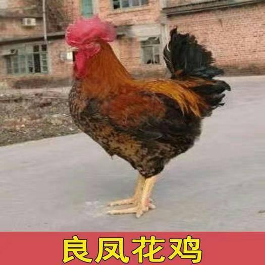 廣西壯族自治區南寧市西鄉塘區 良鳳花雞苗
