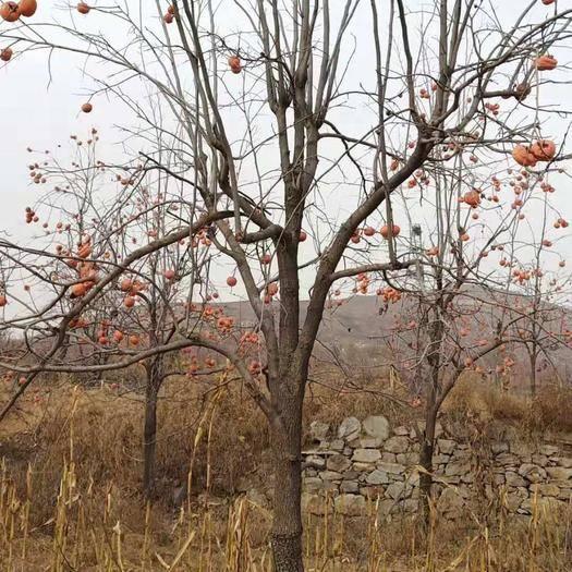河北省保定市顺平县柿子树接穗