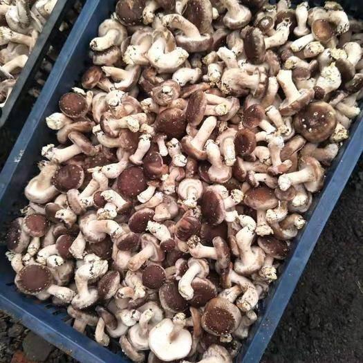 吉林省吉林市永吉縣香菇片 215頭茬 價格便宜