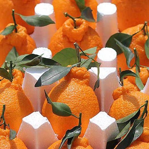 四川省成都市蒲江县 四川蒲江不知火丑橘一件代发电商首选