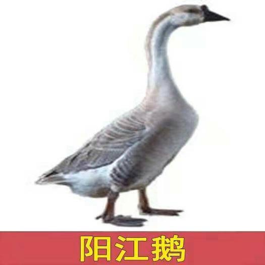 廣西壯族自治區南寧市西鄉塘區 陽江鵝苗