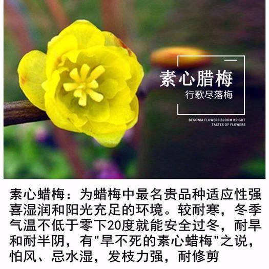 山東省臨沂市平邑縣 臘梅盆栽苗地栽苗素心臘梅苗