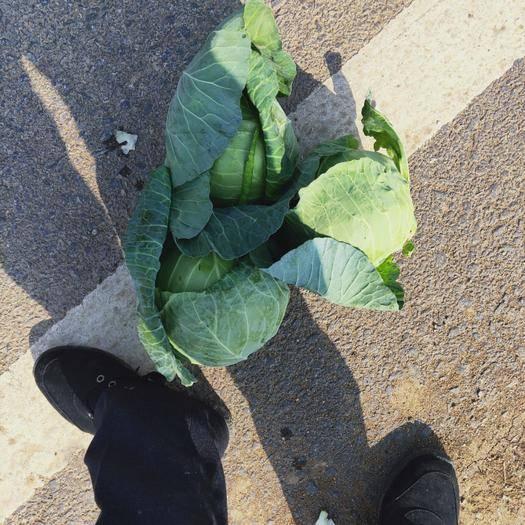 河南省南陽市新野縣中甘21甘藍 精選產地,精品甘籃正在上市中。