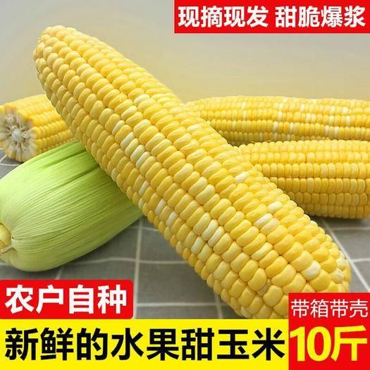 云南省昆明市官渡區 云南水果玉米新鮮玉米棒現貨包郵3斤5斤9斤大量供應
