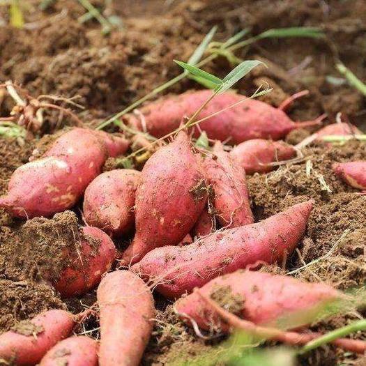 安徽省滁州市明光市 煙薯25貨源充足,品質上乘,價格合理