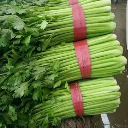 河北省邯鄲市永年區黃芹菜 40~45cm 0.5~1.0斤 大棚種植