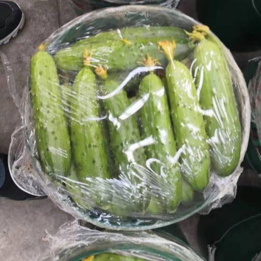 遼寧省朝陽市凌源市 精品黃瓜超市專供