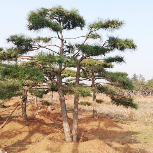 山東省濟南市鋼城區造型油松 基地常年供應各種造型景觀松,物美價廉,歡迎惠顧