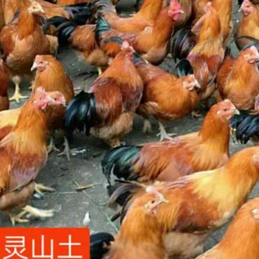 廣西壯族自治區南寧市西鄉塘區 靈山土雞苗