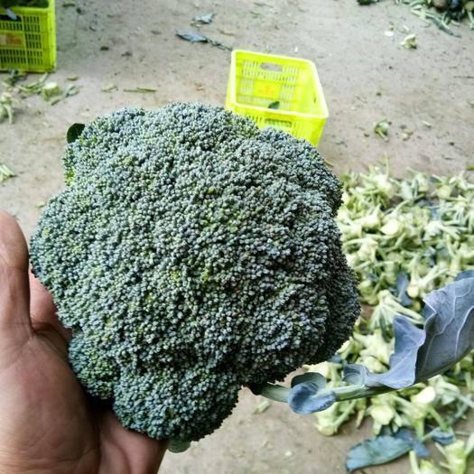 河南省南陽市鄧州市耐寒優秀西蘭花 0.8~1.2斤 10cm以下
