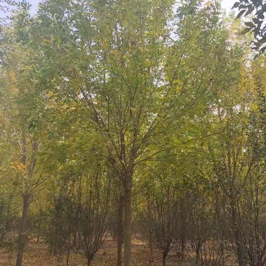 山東省濟寧市任城區 白蠟樹