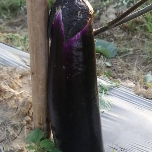 廣東省惠州市博羅縣 專業供應燒烤茄子批發、零售