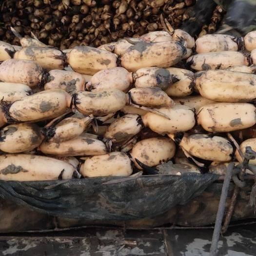 安徽省滁州市定遠縣 鄂蓮6號1800畝種植基地直銷,蓮藕節型好,顏色白