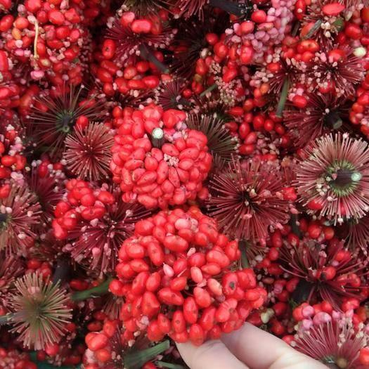 云南省文山壯族苗族自治州文山市 三七種子,種子分季節,抓住季節哦