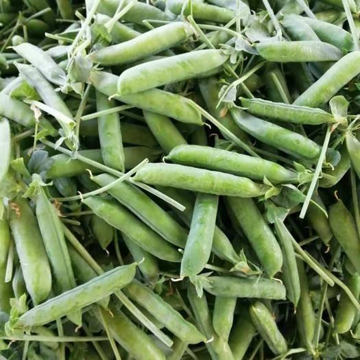 云南省紅河哈尼族彝族自治州河口瑤族自治縣 新鮮豌豆等著你來帶走