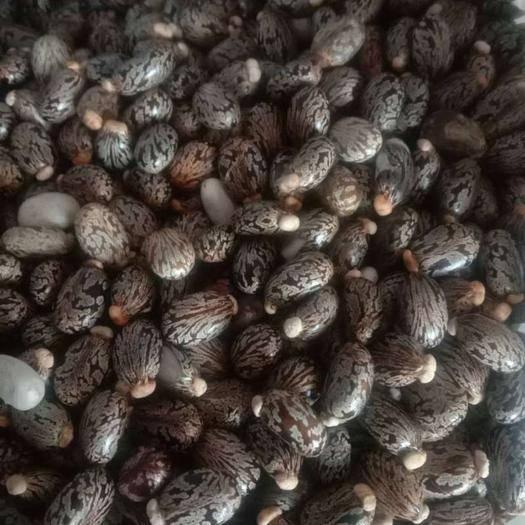 新疆维吾尔自治区塔城地区沙湾县蓖麻种子 蓖麻子供应