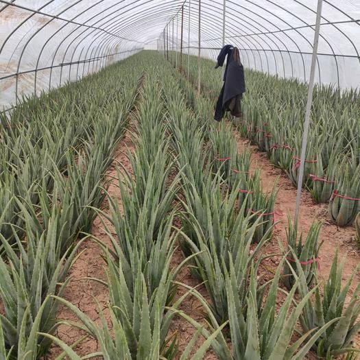 河南省周口市淮陽縣 庫拉索蘆薈,美容又養顏,需要的聯系