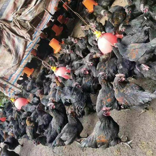 四川省宜宾市叙州区静宁乌骨鸡 乌鸡低价批发,长期有货